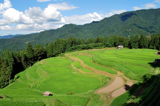 写真:棚田の風景。初夏の美しい緑が広がっている