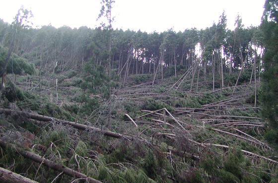 写真:高く育った木が一面に倒れている。