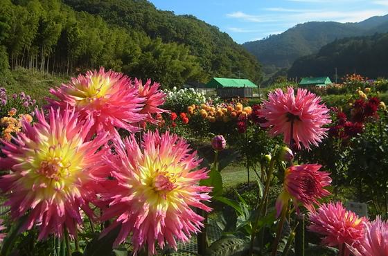 430種1200株が咲く黒川ダリヤ園。土壌改良に今西さんの木炭片が使われている。