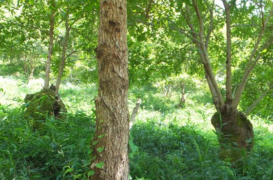 伐採によって主幹が太くなった台場クヌギ