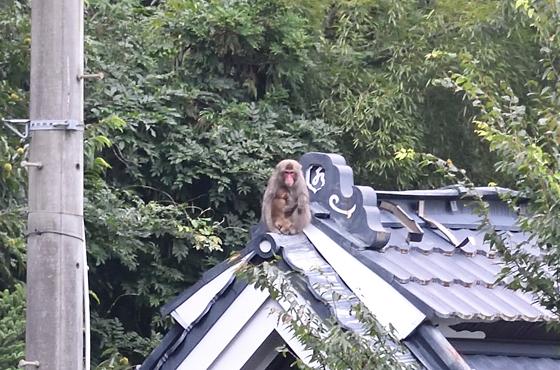 屋根の上に子どもを抱いたサルが出没