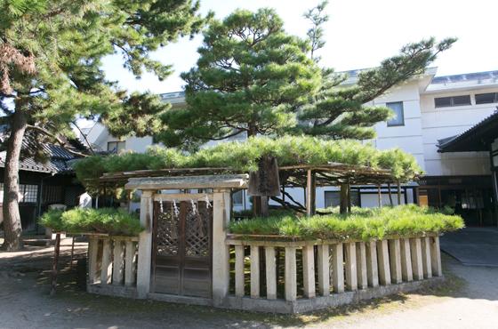 高砂神社の相生の松