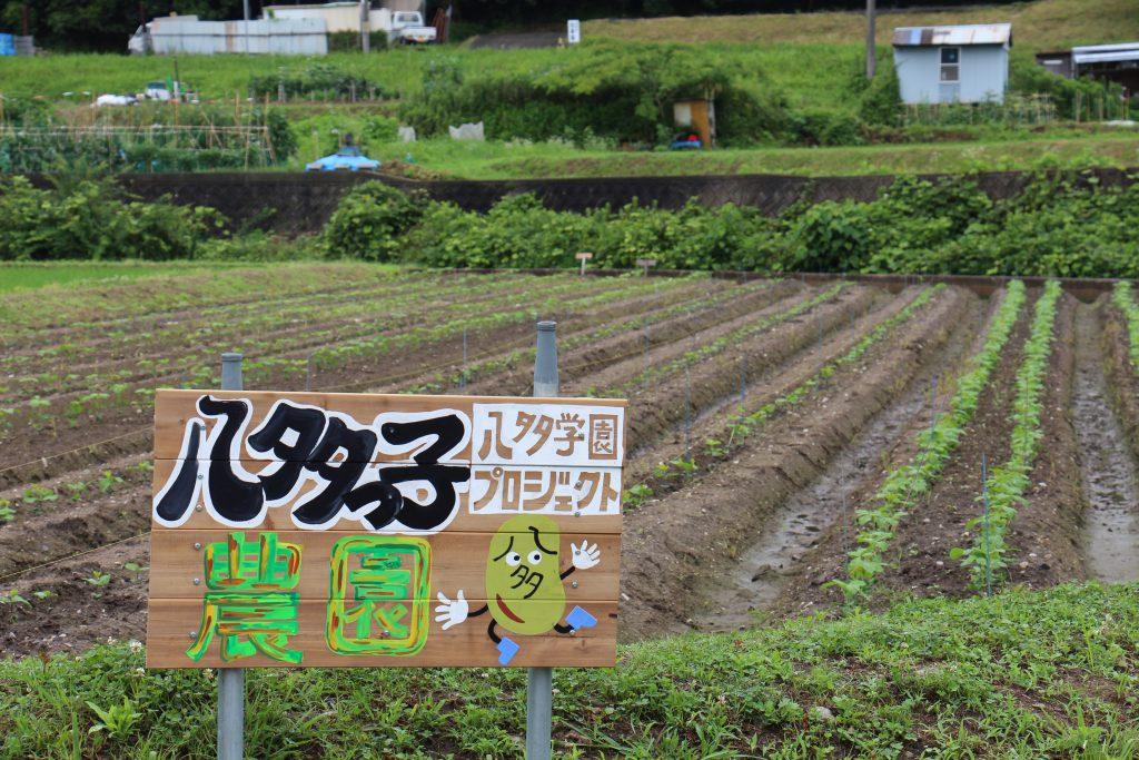 八多学園プロジェクトの農園「八多っ子農園」。子どもたちが植えた黒豆がどの畝でも育ち始めている。