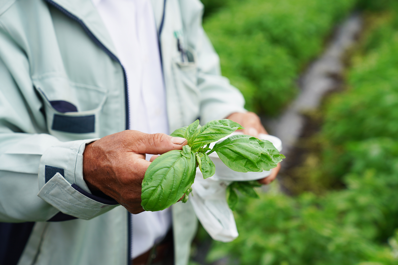 バジルには化学肥料は一切使用せず、葉も全て手作業で朝摘みすることにこだわる。