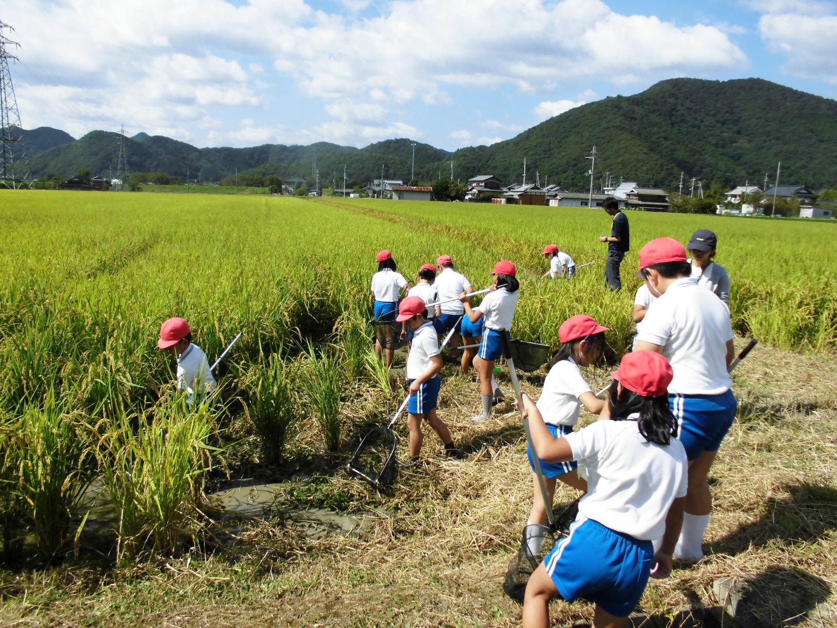 放流したメダカを救出する生徒たち。 「めだか米」は小学校の生徒とメダカを放流した水田で農薬使用を減らし栽培。「ひょうご安心ブランド農産物」に認定されている。