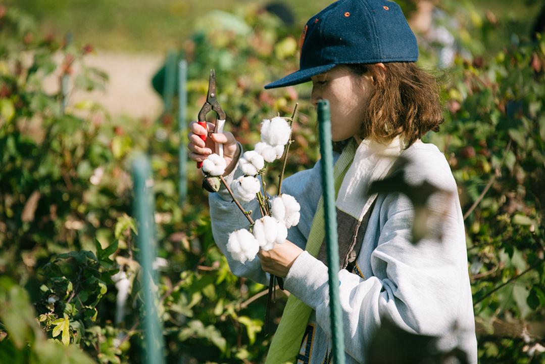365(サブロク)コットンの畑で、綿花の収穫。